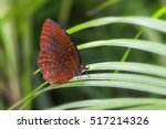 Small photo of Common Palmfly (Elymnias hypermnestra agina), Beautiful Butterfly in A Garden
