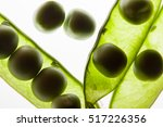 peas and opened pea pods on... | Shutterstock . vector #517226356