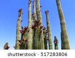 Blooming Organ Pipe Cactus