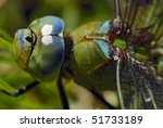 Small photo of Blue emperor dragonfly (adult male) Anax imperator. (adult male) Size; 75mm. Order; Odonata, (Anisoptera), Family:Aeshnidae. Photographed in the Drakensberg Mountains, South Africa