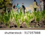 urban community gardening   Shutterstock . vector #517357888