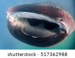 Whale Shark Underwater With Big ...