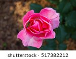 Pink Rose And Honey Bee.