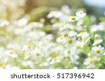 may flowers field of camomiles...   Shutterstock . vector #517396942