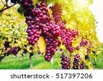 Ripe Grapes Hanging On Vines I...