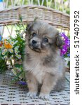 Stock photo small brown puppy sitting by the basket with summer flowers 517407952