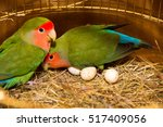 Small photo of two beautiful green parrots lovebirds agapornis in gold cage having eggs