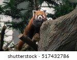Portrait Of A Red Panda  ...