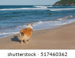 Rough Collie Dog Ready To Save...