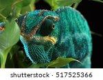 Chameleon   Chamaeleonidae