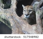 mountain lion peering out from...   Shutterstock . vector #517548982