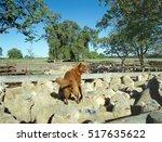 Sheep Dog On  Back Of Merino...
