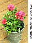 Bright Parade Roses In Pot