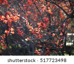 the beautiful colorful autumn... | Shutterstock . vector #517723498