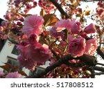 cherry blossom sakura in spring | Shutterstock . vector #517808512