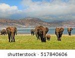 Parade Of Elephants Walking...