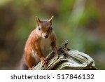 british native red squirrel on...   Shutterstock . vector #517846132