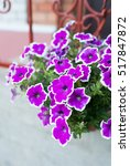 white and purple petunia... | Shutterstock . vector #517847872