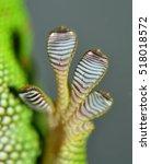 Toe Of Little Green Dwarf Gecko