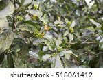 clove tree with blooming...   Shutterstock . vector #518061412