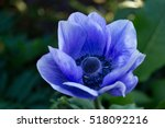 Blue Anemone Close Up On A...