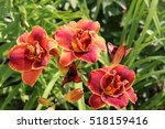 Blooming Cultivar Daylily ...