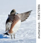 Small photo of American Wigeon (Anas americana) in snow