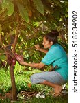 farmer with big cacao pod in... | Shutterstock . vector #518234902