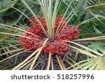 palm leaves with the fruits of... | Shutterstock . vector #518257996