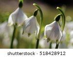 Spring Flowers. Snowflake In...