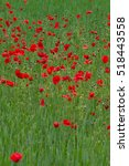 many poppies in a field a... | Shutterstock . vector #518443558
