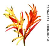 Heliconia Flower Isolated On...