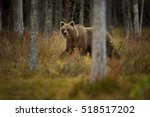the brown bear is the largest... | Shutterstock . vector #518517202
