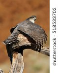 Small photo of Adult female of Eurasian sparrowhawk hunting a dove . Accipiter nisus