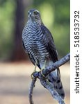 Small photo of Young female of Eurasian sparrowhawk. Accipiter nisus