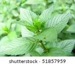growing mint in the bed close up | Shutterstock . vector #51857959