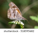 Small photo of American Snout Butterfly - Libytheana carinenta