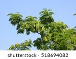Small photo of albizzia tree in the sky