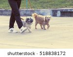 Stock photo close up of a man s legs and his white and puppy dog walking in park animal and people concept 518838172