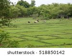 Small photo of African rice