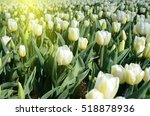 Tulips Flowers In The Middle O...