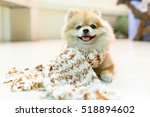 Dog Pomeranian Wearing A Scarf...