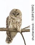 Stock photo wild barred owl strix varia isolated on white 518919892