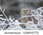 Ural Owl In Snow