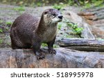 Brown otter looking away from...
