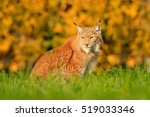 Lynx In The Grass With Autumn...
