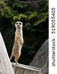 meerkat | Shutterstock . vector #519055405