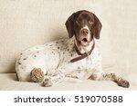 English Pointer Dog At Sofa