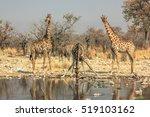 Three Giraffes Drinking At Poo...