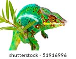 Colorful Male Chameleon On...